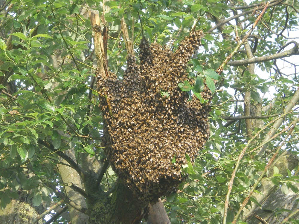 Bienenstock im Ast